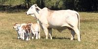 45 Brahman Cows w/ 21+ Calves... East TX