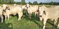 8 Brahman Bred Heifers... Southwest LA