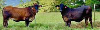 18 Brahman/Angus Crossbred Bred Heifers... Southeast LA