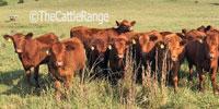 27 Reg. Red Angus Rep. Heifers... E. Central OK