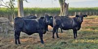 25 Brangus Type Bred Heifers... Southeast LA