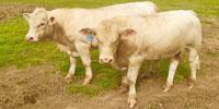 6 Reg. Charolais Bulls... N. Central TX
