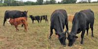 12 Angus & BWF Cows w/ 7+ Calves... Southwest MO