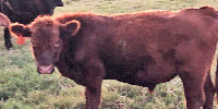 6 Red Angus, Brangus, Brahman Bull Calves... East TX