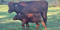 21 Reg. Red Angus 1st-Calf Heifers w/ 11+ Calves... N. Central AR