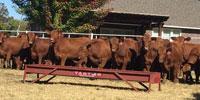 72 Red Angus Rep. Heifers.. E. Central OK