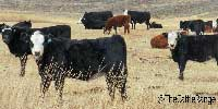85 Angus Cross Black Baldy Rep. Heifers... Northwest CO