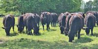 4 Reg. Angus Bulls... Western TN