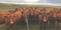 120 Red Angus Bred Heifers... Northwest SD