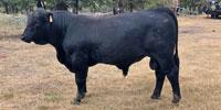 18 Reg. Brangus Bulls... Central TX