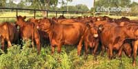 62 Red Angus Bred Heifers... North TX
