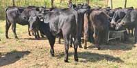 32 Balancer Rep. Heifers... Western TN
