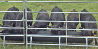 6 Reg. Angus Rep. Heifers... East TX (1)