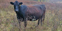 55 Angus & BWF Cows... Southwest MO