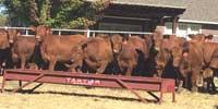 56 Red Angus Rep. Heifers.. E. Central OK