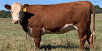 7 Reg. Hereford Bred Heifers... E. Central OK