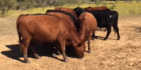 11 Red Angus Bred Heifers... N. Central TX