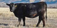 65 Reg. Angus Bred Heifers... Southwest WY