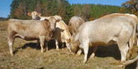 14 Charolais Cross Cows w/ 5+ Calves... Northeast MS