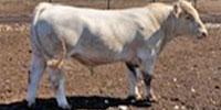 10 Reg. Charolais Bulls... N. Central TX