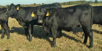33 Angus Plus Rep. Heifers... Southwest MO