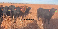 18 Black & BWF Crossbred Cows... S. Central KS
