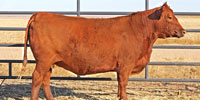 20 Reg. Red Angus Cows... E. Central CO