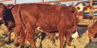 5 Hereford/Santa Gertrudis Cross Rep. Heifers... East TX