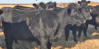 300 Angus Bred Heifers... S. Central KS