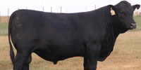 25 Reg. Angus Bulls... Central TX