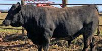 12 Reg. Angus Bulls... East TN