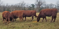 "20 Red Angus & Red Angus Cross ""RWF"" Cows w/ 4+ Calves... Central MO"