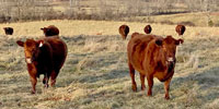 48 Red Angus Cows... Southwest MO