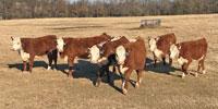 8 Reg. Hereford Rep. Heifers... E. Central OK