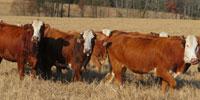 60 Braford/Tigerstripe Bred Heifers... Northeast TX