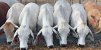 7 Brahman Bred Heifers... S. Central TX