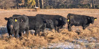 23 Angus Bred Heifers... Northwest MO
