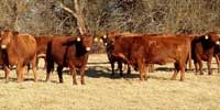40 Red Angus & Red Angus Cross Cows... Southwest MO (5)