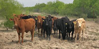 110 Reg. Akaushi Cows... South TX