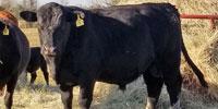 1 Reg. Angus Bull... Southeast TX