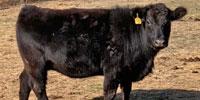 "7 Angus Cross ""BWF"" & Lim-Flex Bred Heifers... Northwest AR"