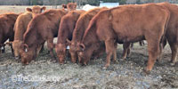 21 Reg. Red Angus Bred Heifers... N. Central AR