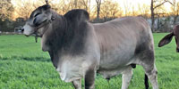1 Reg. Brahman Bull... Southeast LA (2)