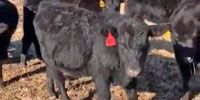 23 Angus Rep. Heifers... Northeast OK