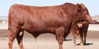 4 Reg. Akaushi Bulls... TX Panhandle (1)
