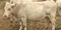 18 Reg. Charolais Cows w/ 14+ Calves... Northwest AL ~ FD