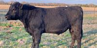 1 Angus Bull... N. Central TX