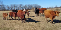13 Angus, Red Angus, & Charolais Cross Pairs... Southwest MO