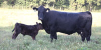 63 Crossbred Cows w/ 16+ Calves... North FL