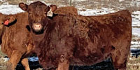 35 Reg. Red Angus Rep. Heifers... E. Central OK